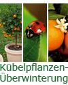 Kübelpflanzen-Überwinterung